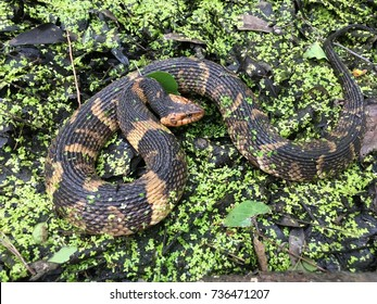 Watersnake in swamp