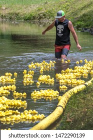 Watervliet MI USA june 30 2019; a worker wades in a river, following after floating ducks, during a summertime duck race in this small Michigan town