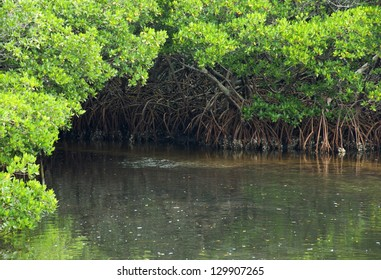 Waterway through a mangrove forest in Florida