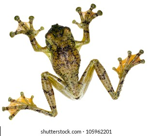 Watry Treefrog (Ecnomiohyla tuberculosa), A very rare treefrog from the Ecuadorian Amazon