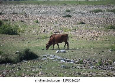 watter buffalo on river