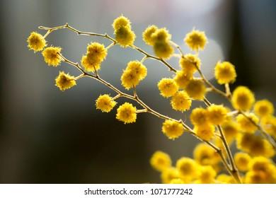 Wattle Bloom in Differential Focus