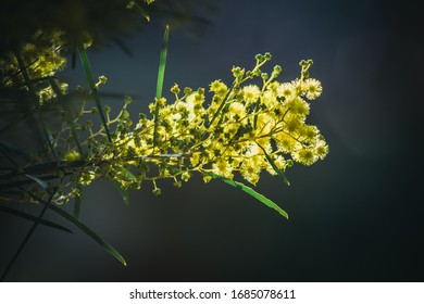 Wattle flowers with sunlight behind them