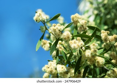 wattle overflowing with spring blossoms