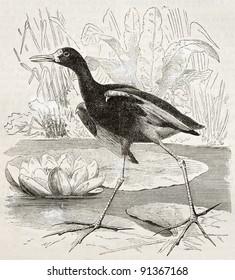 Wattled Jacana old illustration (Jacana jacana). Created by Kretschmer, published on Merveilles de la Nature, Bailliere et fils, Paris, ca. 1878