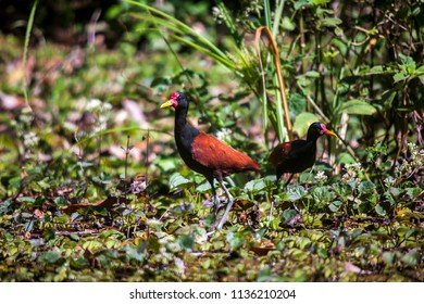 Wattled Jacana photographed in the city of Cariacica, Espirito Santo, Southeast of Brazil. Atlantic Forest Biome. Picture made in 2012.