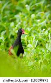 Wattled Jacana,  wader bird from Trinidad and Tobago. Bird with long leg in the water grass. Jacana in habitat, green vegetation. Beautiful wader from  nature. Wildlife scene from Caribbean.