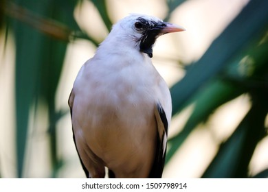 Wattled starling (creatophora cinerea) in frontal view in front of green leaves