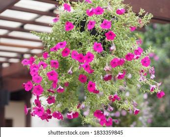 Ola color rosa oscuro en cascada, Nombre familiar Solanaceae, Nombre científico Petunia híbrido Vilm, Grandes pétalos de una capa Grandiflora Flor en un jardín sobre fondo de naturaleza borrosa
