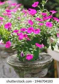 Ola color rosa oscuro en cascada, Nombre familiar Solanaceae, Nombre científico Petunia híbrido Vilm, Grandes pétalos de una capa Grandiflora Flor en maceta verde de plástico floreciente jardín fondo