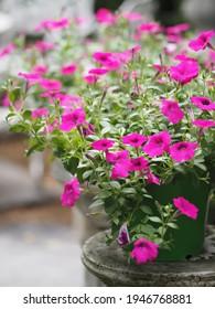 Ola color rosa oscuro en cascada, Nombre familiar Solanaceae, Nombre científico Petunia híbrido Vilm, Grandes pétalos de una sola capa Grandiflora Monstruo de plástico verde florido floreciendo en el fondo natural del jardín