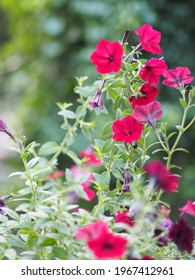 Wave dark pink Cascade color, Family name Solanaceae, Scientific name Petunia hybrid Vilm, Large petals Grandiflora Singles flower in green plastic pot blooming in garden on blurred nature background