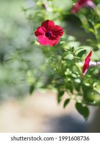 Ola color rosa oscuro en cascada, Nombre familiar Solanaceae, Nombre científico Petunia híbrido Vilm, Grandes pétalos de una sola capa Grandiflora Flor floreciente en el jardín sobre fondo de naturaleza borrosa