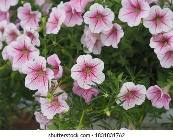 Color de la cascada rosa ondulada, Nombre familiar Solanaceae, Nombre científico Petunia híbrido Vilm, pétalos grandes de una capa Grandiflora Flor violeta de una maceta de plástico que florece en el jardín borroso