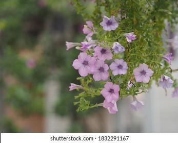 Color de la cascada rosa ondulada Nombre familiar Solanaceae, Nombre científico Petunia híbrido Vilm, pétalos grandes de una capa Grandiflora Flor violeta en una maceta de plástico que florece en el jardín sobre borrosa
