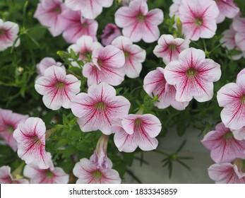 Color de la cascada rosa ondulado, Nombre familiar Solanaceae, Nombre científico Petunia híbrido Vilm Grandiflora Singles flor en una olla de plástico floreciendo en el jardín sobre fondo de naturaleza borrosa