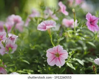 Color de la cascada rosa ondulada, Nombre familiar Solanaceae, Nombre científico Petunia híbrido Vilm, Grandes pétalos de una sola capa Grandiflora Flor floreciente en el jardín sobre fondo de naturaleza borrosa colgando