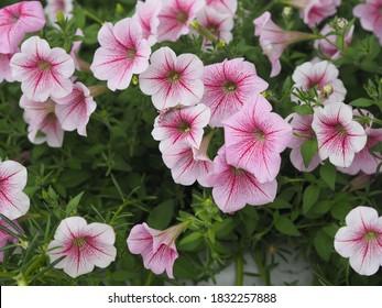 Color de la cascada rosada ondulada  Nombre familiar Solanaceae, Nombre científico Petunia híbrido Vilm, pétalos grandes de una capa Grandiflora Flor en una maceta de plástico floreciendo en el jardín sobre fondo de naturaleza borrosa