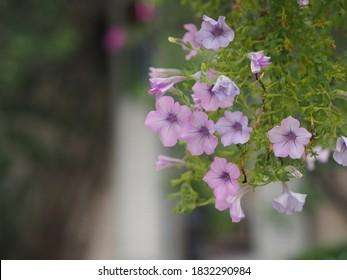 Color de la cascada rosa ondulada  Nombre familiar Solanaceae, Nombre científico Petunia híbrido Vilm, pétalos grandes de una capa Grandiflora Flor violeta de una maceta de plástico que florece en el jardín borroso