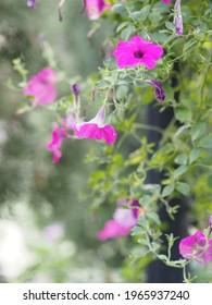 Color rosa ondulado Petunia Hybrida, Solanaceae, nombre flor ramo bello sobre fondo natural borroso