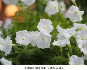 Color blanco ondulado Petunia Hybrida, Solanaceae, nombre flor ramo bello sobre un fondo natural borroso