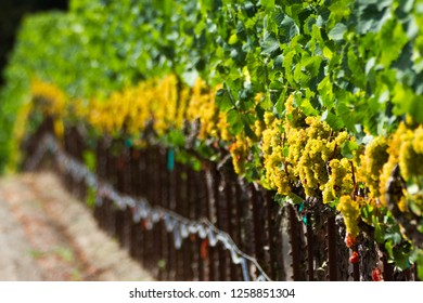 Wave of White (Wine) - Undulating row of white wine grapes are plump and ready for harvest. Sonoma County, California, USA