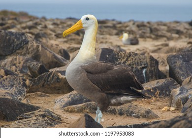 Waved albatros in Galapagos Islands