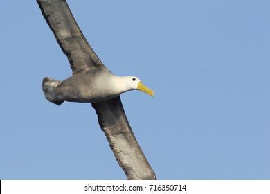 Waved Albatross (Phoebastria irrorata) flying, Punta Suarez, Espanola, Galapagos Islands
