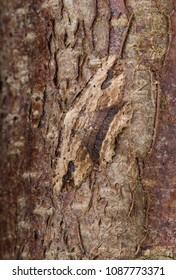 Waved Umber Moth (Menophra abruptaria). Sitting on the bark of a tree.