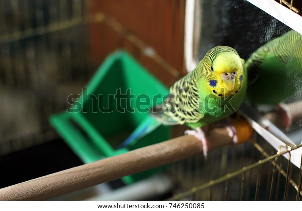 A wavy parrot is sitting in front of a mirror. Bird.