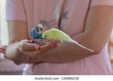 Wavy parrots eat with human hands. Pets
