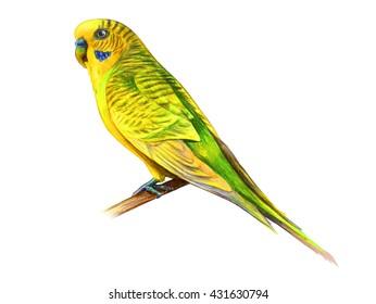 Wavy yellow parrot drawing (Melopsittacus undulatus)