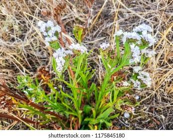 Wavyleaf sea lavender plant, Limonium sinuatum, growing in Galicia, Spain