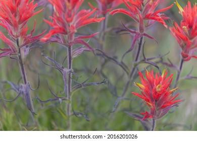 Wavy-Leaved Paintbrush, Ansel Adams Wilderness, California