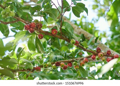 Wax apple tree with group of fruits hanging