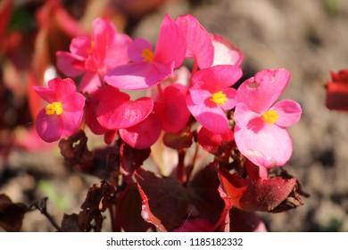 Wax or Bedding Begonia (Begonia semperflorens) with bright pink flowers on flowerbed