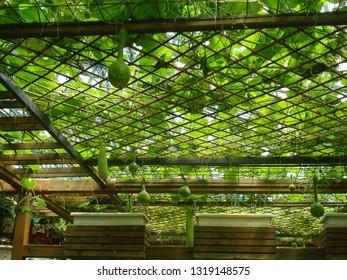 Wax gourd,Winter melon,winter gourd,vine ,Bottle gourd, calabash gourd, Lagenaria siceraria hanging on bamboo structure in green vegetable garden, farming, agricultural