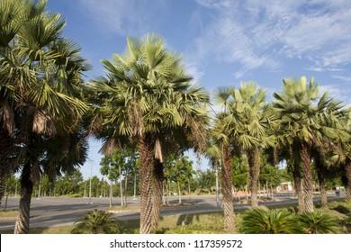 Wax palm or Carnauba , plant native in the northeastern Brazil