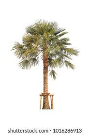 Wax Palm Tree isolated on white background (Copernicia prunifera, Carnauba Wax Palm)