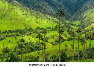 Wax palm trees, native to the humid montane forests of the Andes, towering the landscape of Cocora Valley at Salento, among the coffee zone of Colombia.