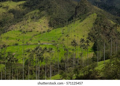 Wax palms in Valle de Cocora, Colombia