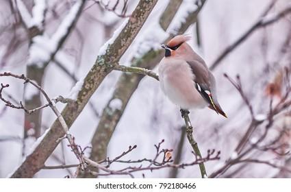 waxwing bird on a tree