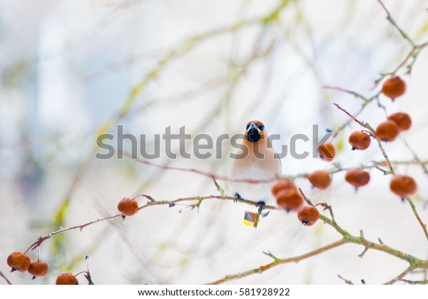Waxwing sits on a tree branch ( Bombycilla garrulus )