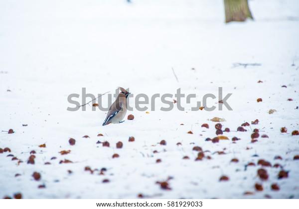 Waxwing sits on a tree branch ( Bombycilla garrulus )