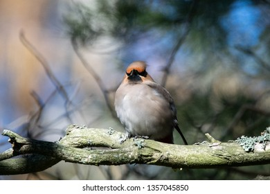 Waxwing sitting on a branch high up in a tree in Karlstad, Sweden