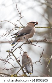 Waxwings on a branch of Chinese apple trees