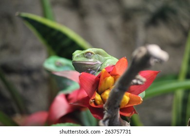 Waxy Monkey Frog (Phyllomedusa sauvagii) on a flower