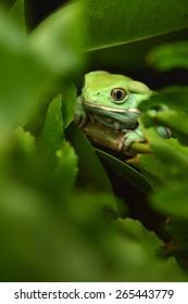 Waxy monkey frog (phyllomedusa sauvagii)