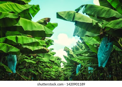 way aroung green leafs of a banan cultivation