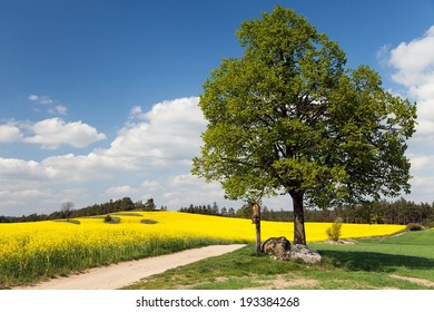 way between rapeseed field and lime tree with crucifix